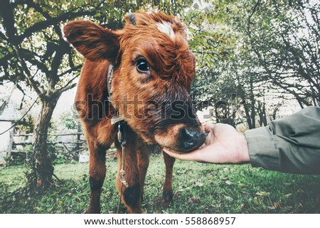 cow calf eating from man hand...