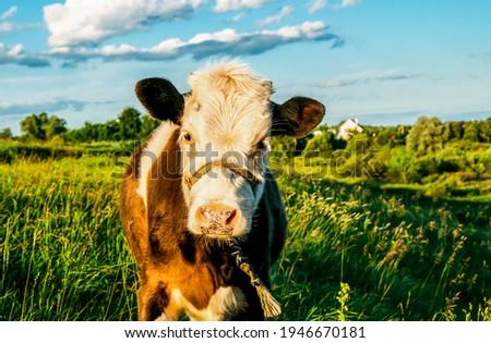 Cow calf portrait on farm pasture. Cute calf portrait. Calf portrait in nature