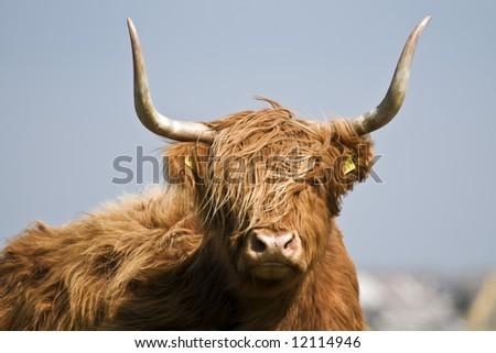 cow close - stock photo