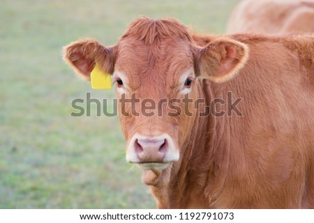 Cow close up - Limousin breed #1192791073