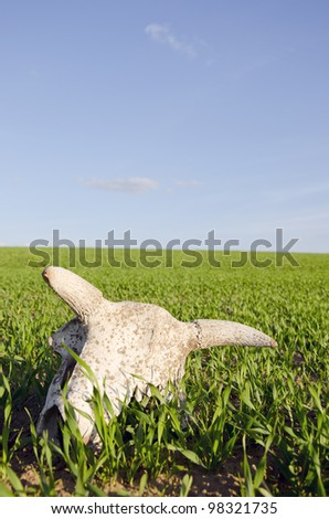cow cranium in the spring crop field and sky