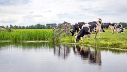 Cow drinking water on the bank of the creek a rustic country scene, reflection in a ditch, at the horizon a blue sky with clouds.
