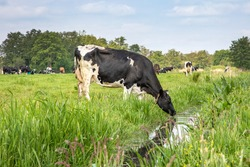 Cow drinking water on the bank of the creek, a rustic country scene, reflection in a ditch, at the horizon a blue sky with clouds.