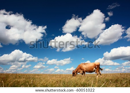 Cow eating dry grass on meadow under blue sky with clouds