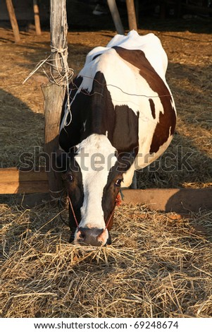 Cow eating dry grass on the farm