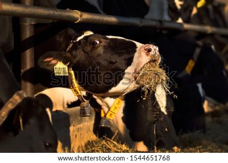 Cow eats, cow head detail #1544651768