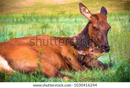 Cow elk cleaning her newborn calf off in a beautiful grassy meadow