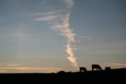 Cow emitting gas into the atmosphere concept. Farming, Farm animals, Livestock pollution, agricultural pollution, global warming, greenhouse effect concept. Cows silhouette.