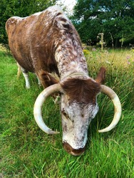 Cow English longhorn cattle, Epping Forest