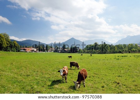 cow farm animal  and field of fresh grass in countryside background