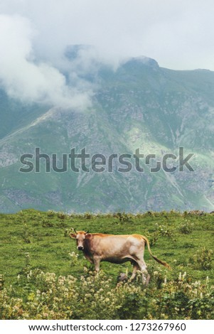 Cow farm animal at mountains alpine green valley summer pasture foggy landscape organic agriculture