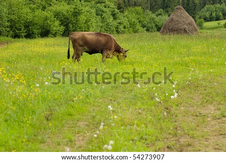 Cow graze on the grass with yellow flowers in the summer