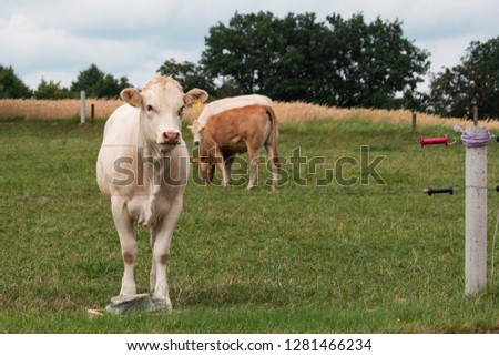 Cow grazing behind an electric fence inside a farm