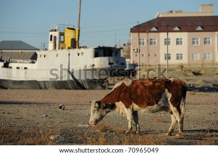 Cow grazing in a dry harbour on the Aral Sea