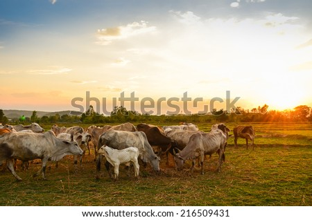 Cow grazing in a sunset meadow in Thailand. #216509431