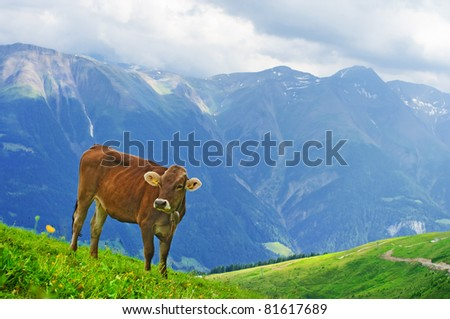 Cow grazing in an Alpine meadow in Switzerland