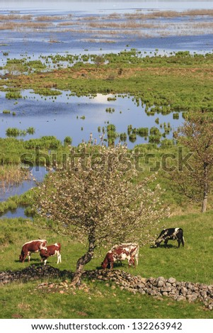 Cow grazing in the meadow by the lake