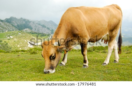 Cow grazing in the mountains.