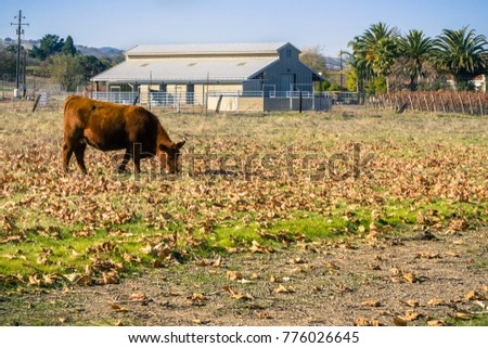 Cow grazing on a field covered in fallen leaves; farm building in the background; Livermore, San Francisco bay area, California #776026645