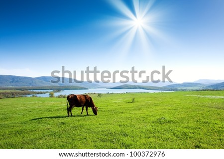 Cow grazing on a green pasture near mountains