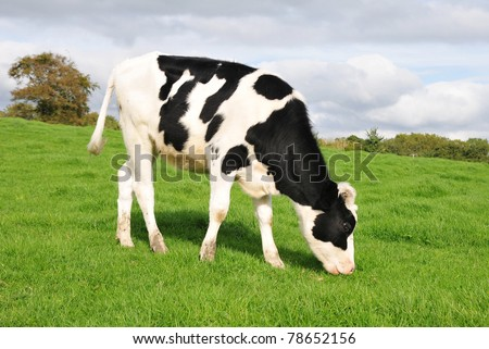 Cow Grazing on Farmland