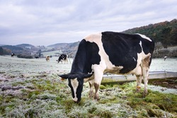 Cow grazing on frozen grass field. Black and white belgian cow in picturesque white frozen landscape in Ardennes region, Wallonia, Belgium.