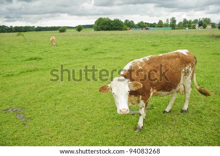 Cow  Grazing on Pasture in Southern Bavaria, Germany