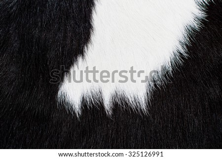 Cow Hair, Cow Fur and Skin. Genuine, Black and White. Animal Background, Pattern, Wallpaper and Textured. Concept and Idea of Dairy Farm Life, Vintage Country Style, or Leather Industry.