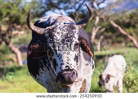 Cow Head Animal Cow animal head closeup farming cattle in open valley fields rural countryside