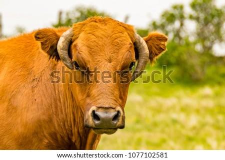 cow head brown #1077102581