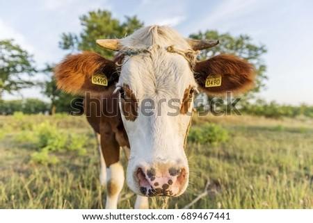 cow head portrait #689467441