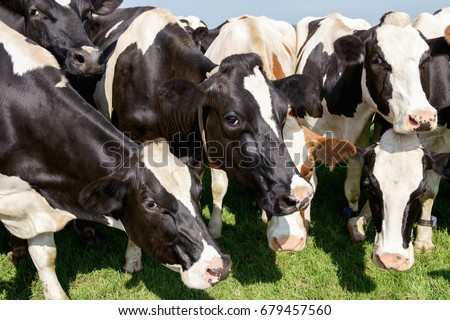 Cow heads together in meadow