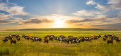cow herd graze on a green rural pasure at the sunset, uotdoor countryside rural background