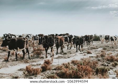 cow herd in nature Stock fotó ©