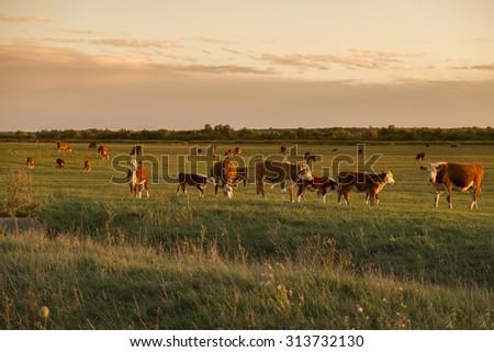 Cow herd in sunset