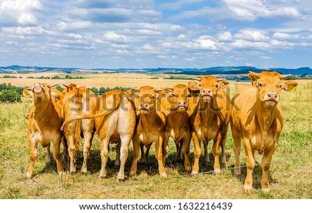 Cow herd on cow farm. Cows group portrait. Cows on pasture