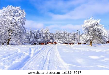 Cow herd on winter snow rural road. Cows on winter snow road. Rural winter snow road scene