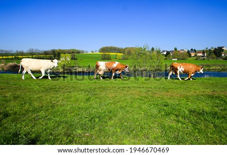 Cow herd walk on pasture grass. Cows grazing on pasture. Walking cows. Three cows walk