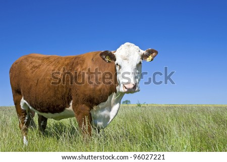 Cow Hereford, against blue sky.