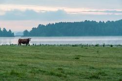 cow in a field near a lake in Filipstad Sweden