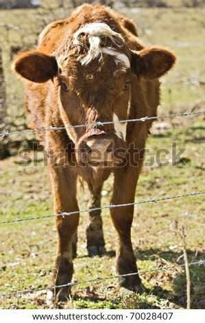Cow in a pasture behind a barbed wire fence.