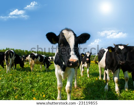 cow in a pasture with cloudy blue sky at the background