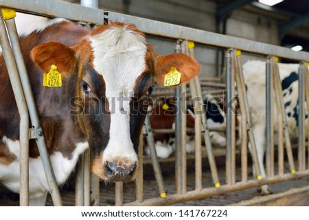 cow in a stable feeding and drinking