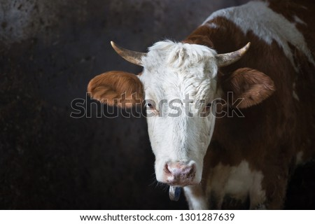 Cow in a stall on a farm. Meat and milk production, agriculture industry, animal welfare and animal rights concept.  ストックフォト ©