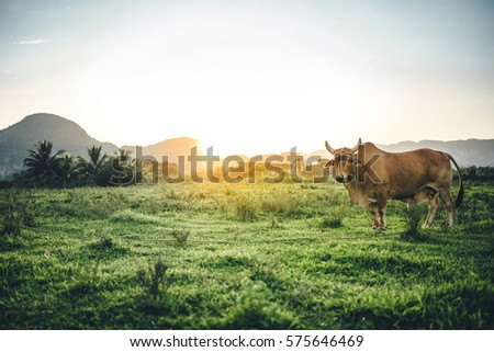Cow in a tropical pasture land