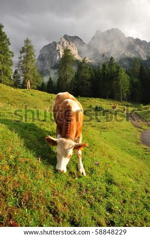 Cow in alp mountains, Switzerland