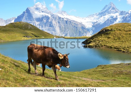 Cow in an Alpine meadow. Jungfrau region, Switzerland