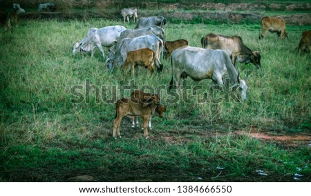 Cow in countryside, Thailand,Asian Cow Countryside Thailand