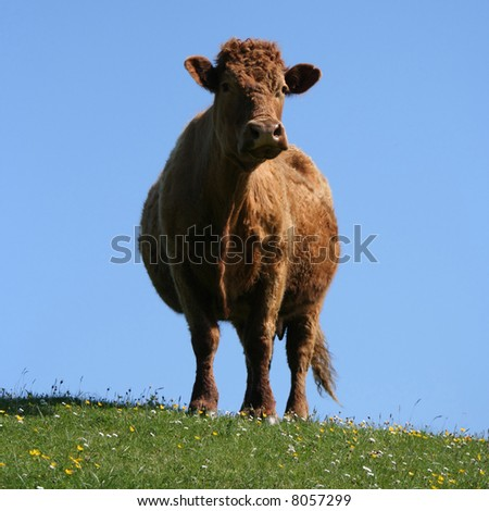 cow in field looking at camera
