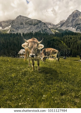 Cow in front of a beautiful alpine landscape
